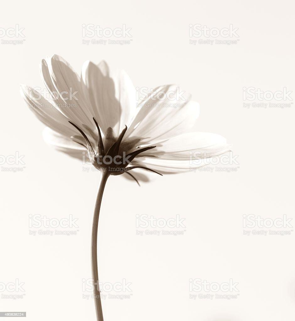 Blanco cosmos flowers - foto de stock