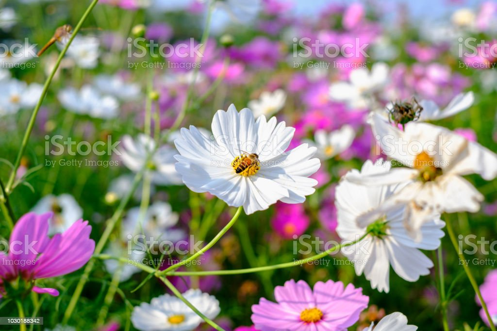 White Cosmos Yellow stamens Among fields of colorful cosmos. Bees are keeping their sweet nectar. stock photo