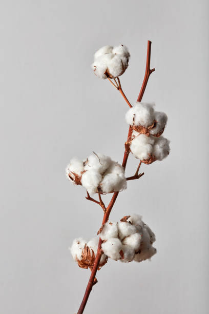 white cotton flowers on gray background stock photo