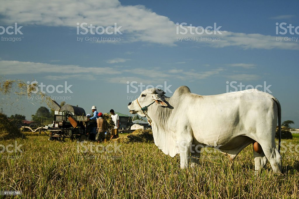 white cow agricultural workers rural asia royalty-free stock photo