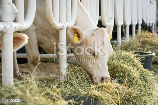 White cow in a stable eating organic hay at dairy farm. Agriculture industry farming concept