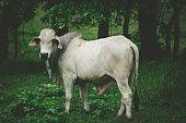 white cow in costa rica, central america.