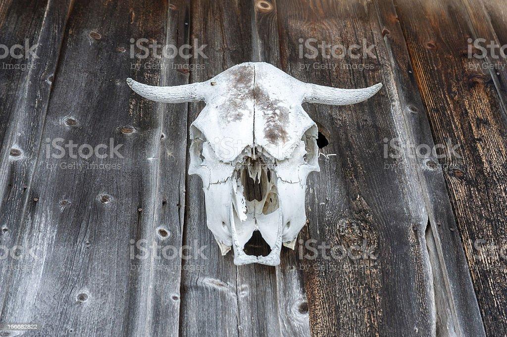 White Cow Skull royalty-free stock photo