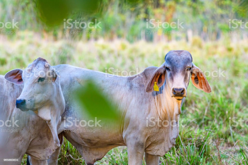 White cows on the move - Royalty-free Agriculture Stock Photo