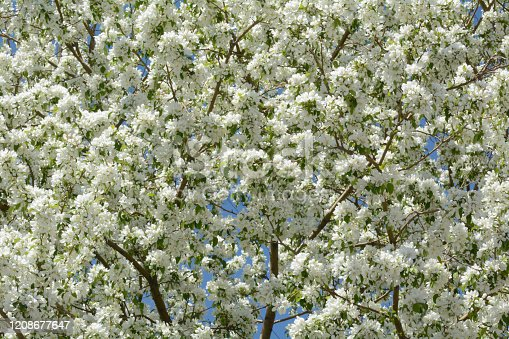 Close up of spring white crabapple or malus flowers on tree