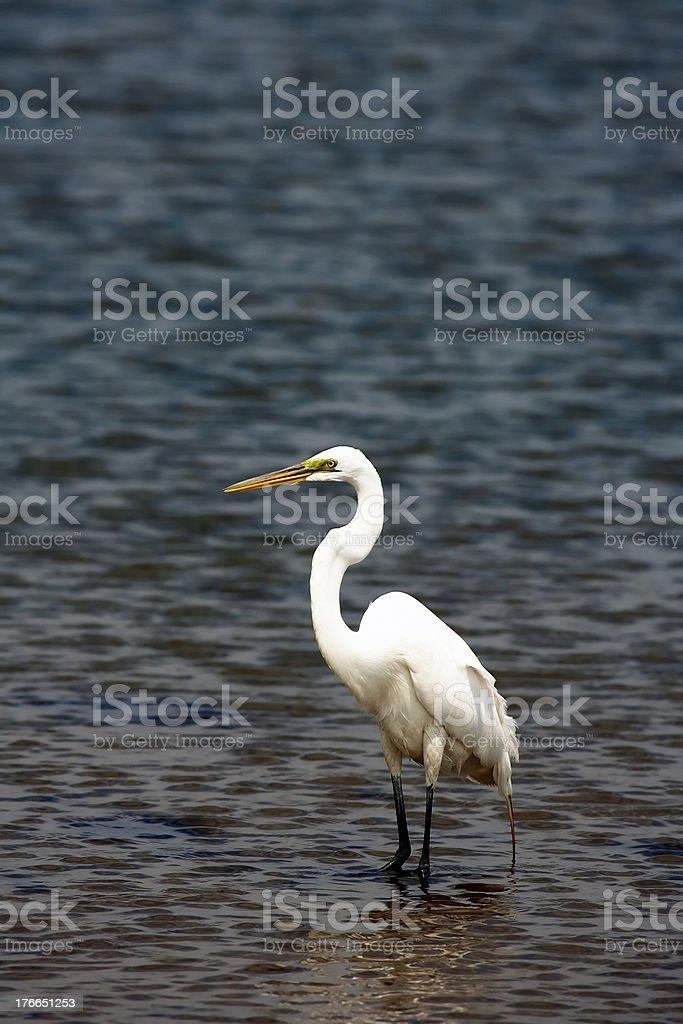 White Crane royalty-free stock photo