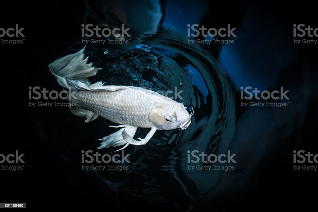 White Crap Fish Or Butterfly Koi Fish Platinum Color In Pond Stock ...