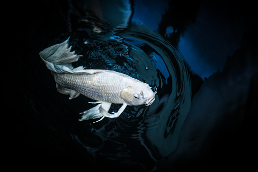 White Crap Fish Or Butterfly Koi Fish Platinum Color In Pond Stock Photo Download Image Now Istock