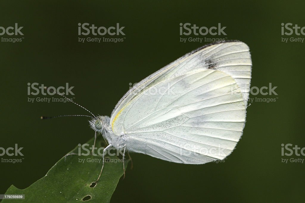 white crataegi in the wild royalty-free stock photo
