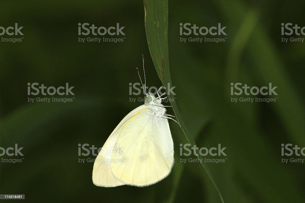 white crataegi on green leaf in the wild royalty-free stock photo