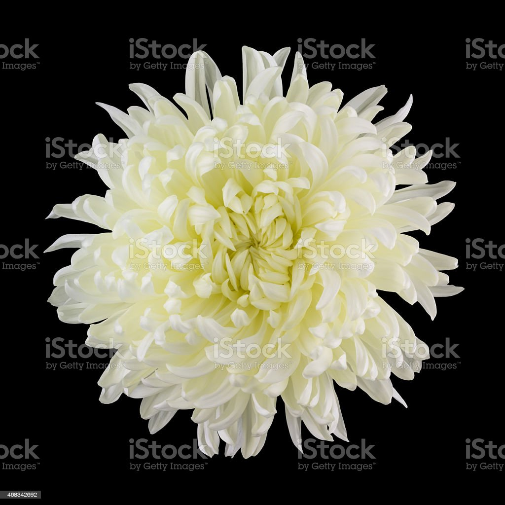 Picture of: White Cremone Mum On Black Stock Photo Download Image Now Istock