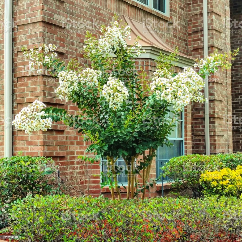 White Crepe Myrtle Tree, Clear Lake City, Texas stock photo