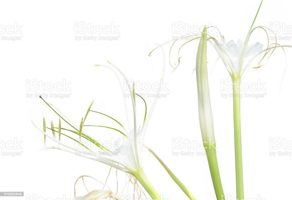 White Crinum Lily bloom stock photo
