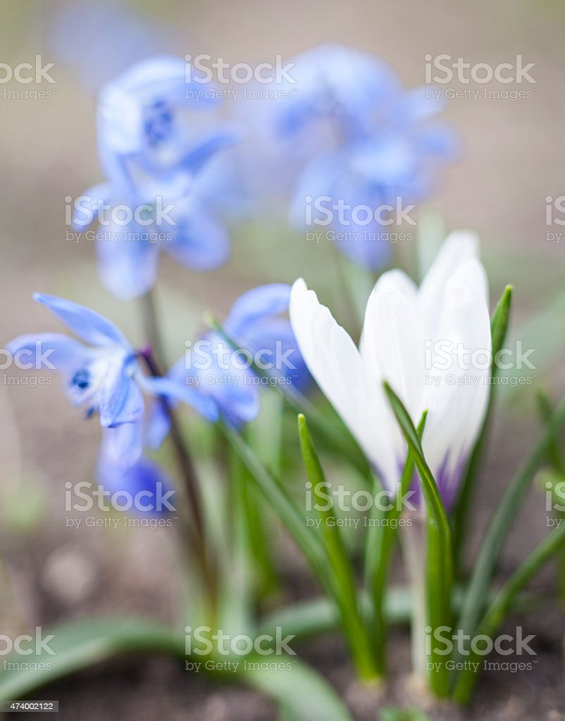 White crocus and blue Scilla flowers stock photo