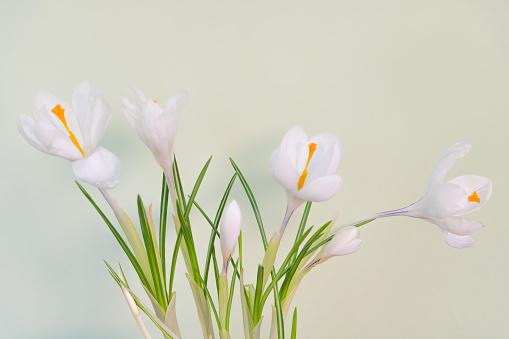 White crocus flower in the pot indoor - Close up.