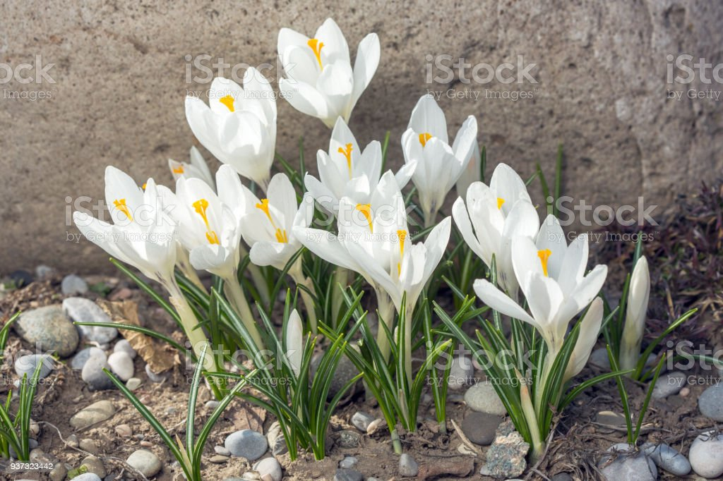 White Crocus Flowers In Home Garden Royalty Free Stock Photo
