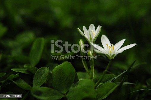 istock White crocus flowers 1286193634