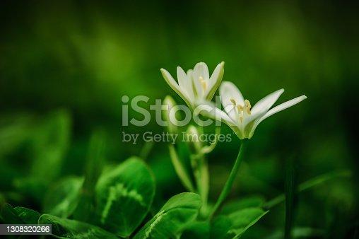 istock White crocus flowers 1308320266
