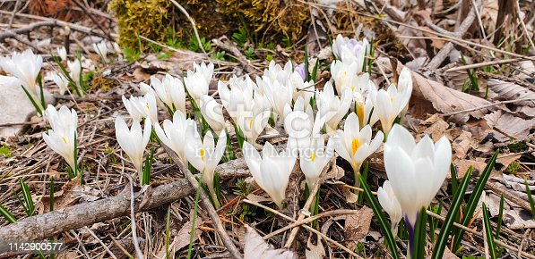 Close up of white crocus growing in forest.