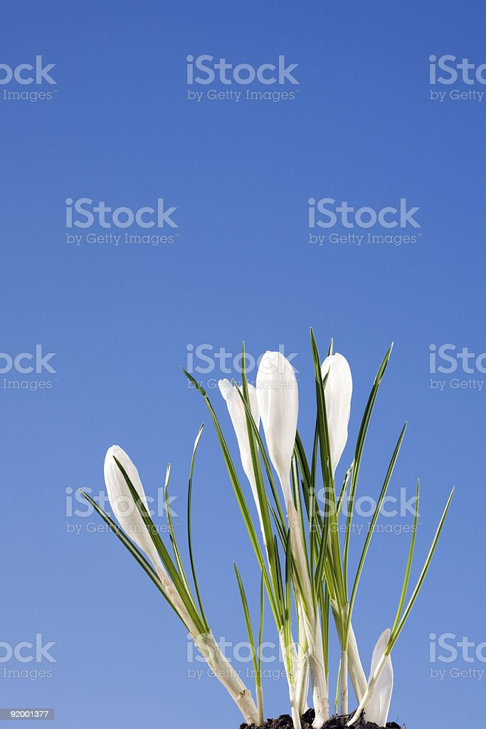 White crocus royalty-free stock photo