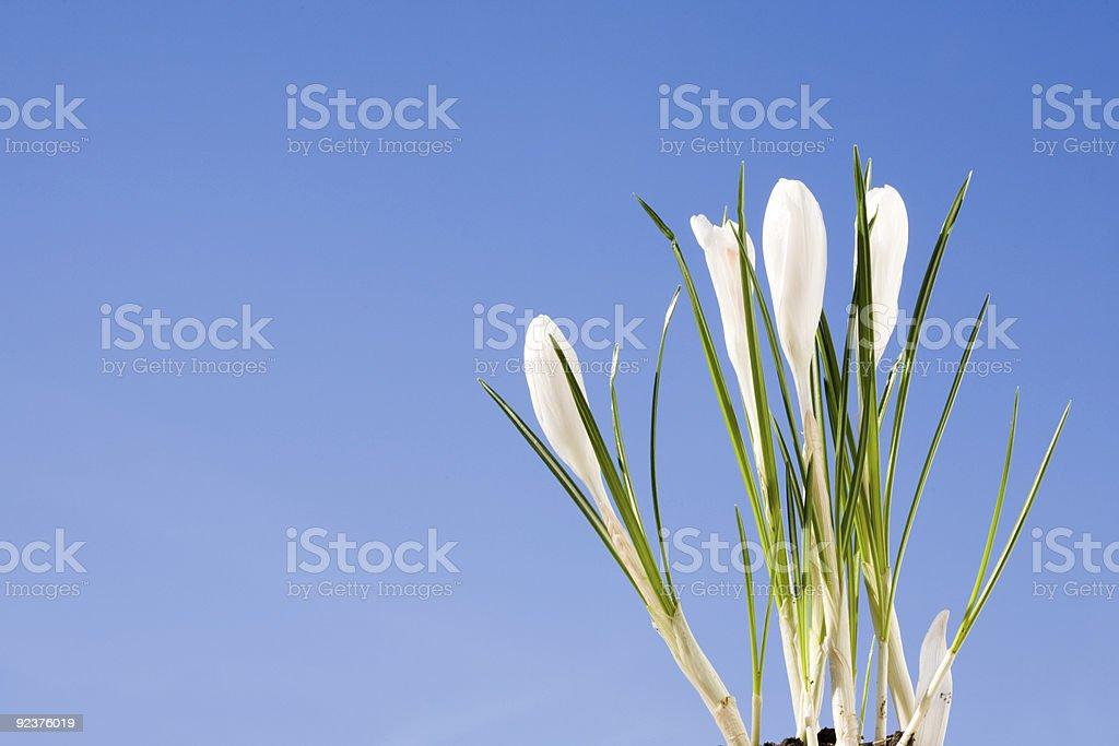 White crocus. royalty-free stock photo