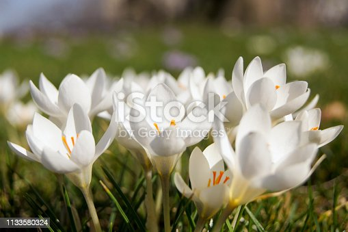 close-up of white crocuses on a meadow in the springtime