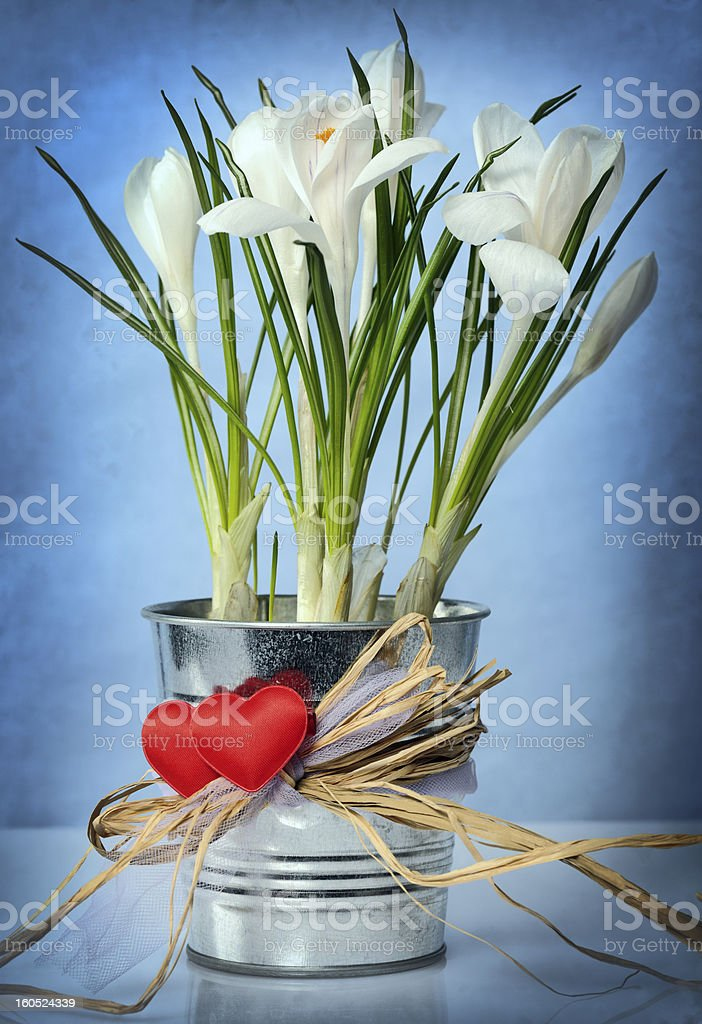 white crocuses royalty-free stock photo