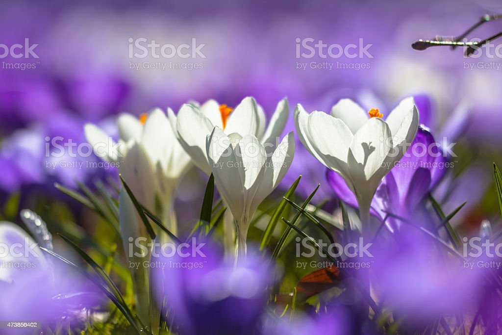 8319fe7765ab White Crocusses Blooming Amidst Purple Flowers Stock Photo   More ...