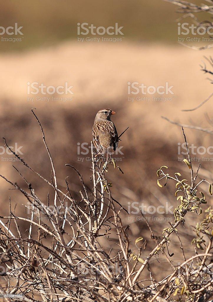 White crowned sparrow, Zonotrichia leucophrys - foto de acervo