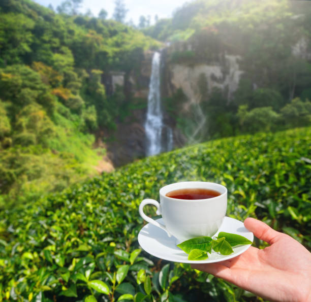 White cup with tea in hand on background of green tea plantation and mountain waterfall on Sri Lanka stock photo