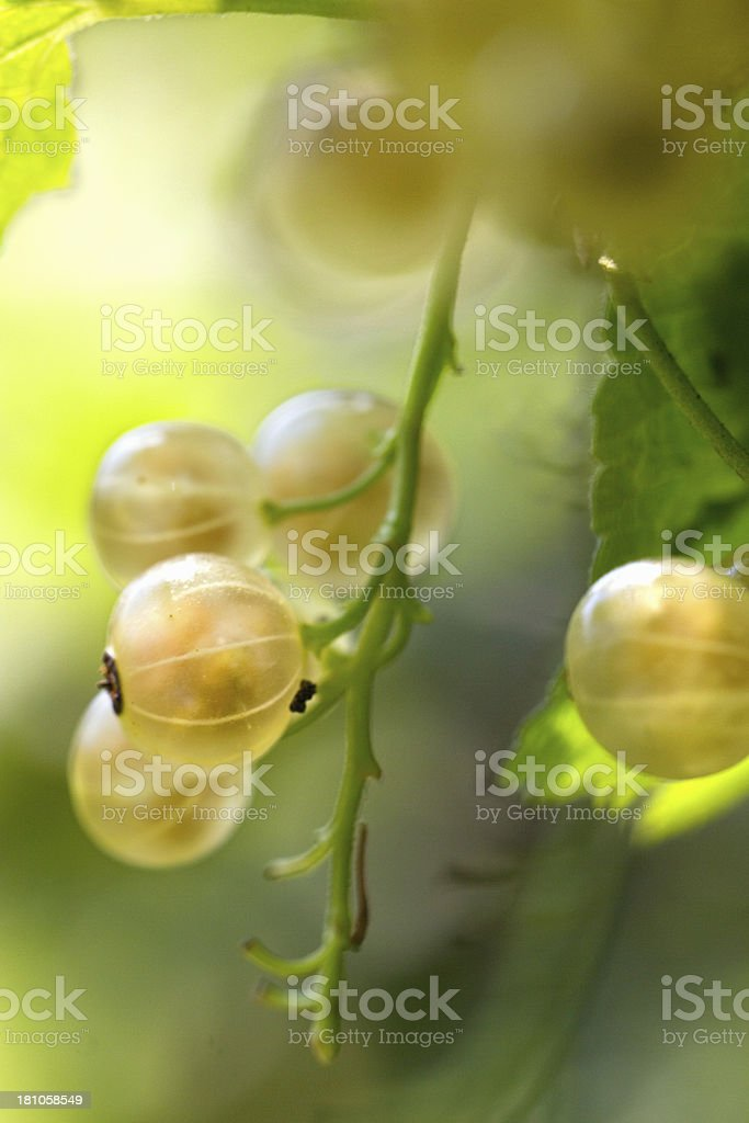 white currant bush royalty-free stock photo