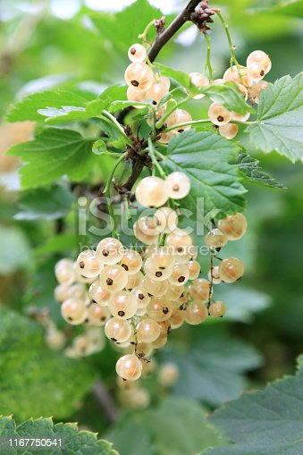 Fresh white currant growing in the garden