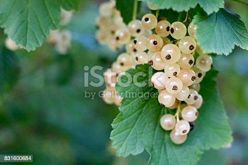 White currants growing on a bush in the garden