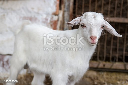 White Cute Goat