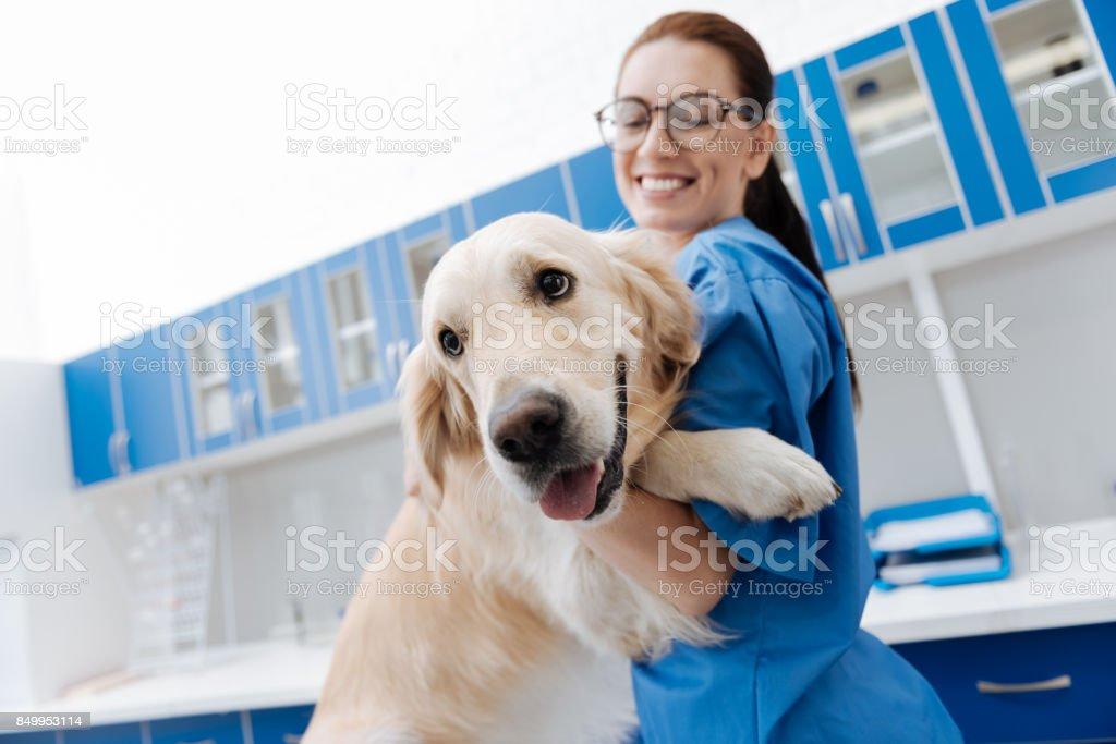 Blanco lindo Labrador mirando adelante - foto de stock