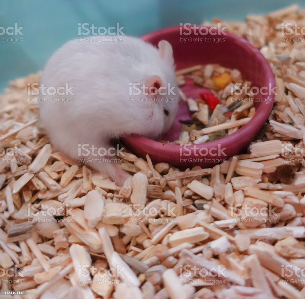 Alimentation Hamster photo libre de droit de white cute lively furry exotic