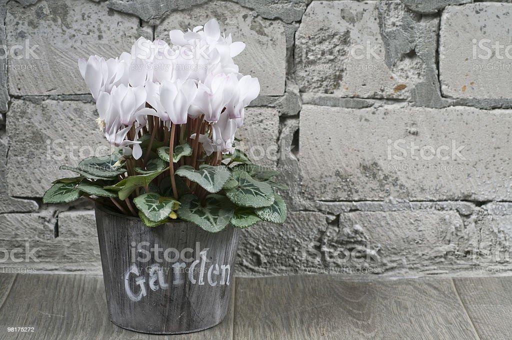 White cyclamen in a flower pot royalty-free stock photo