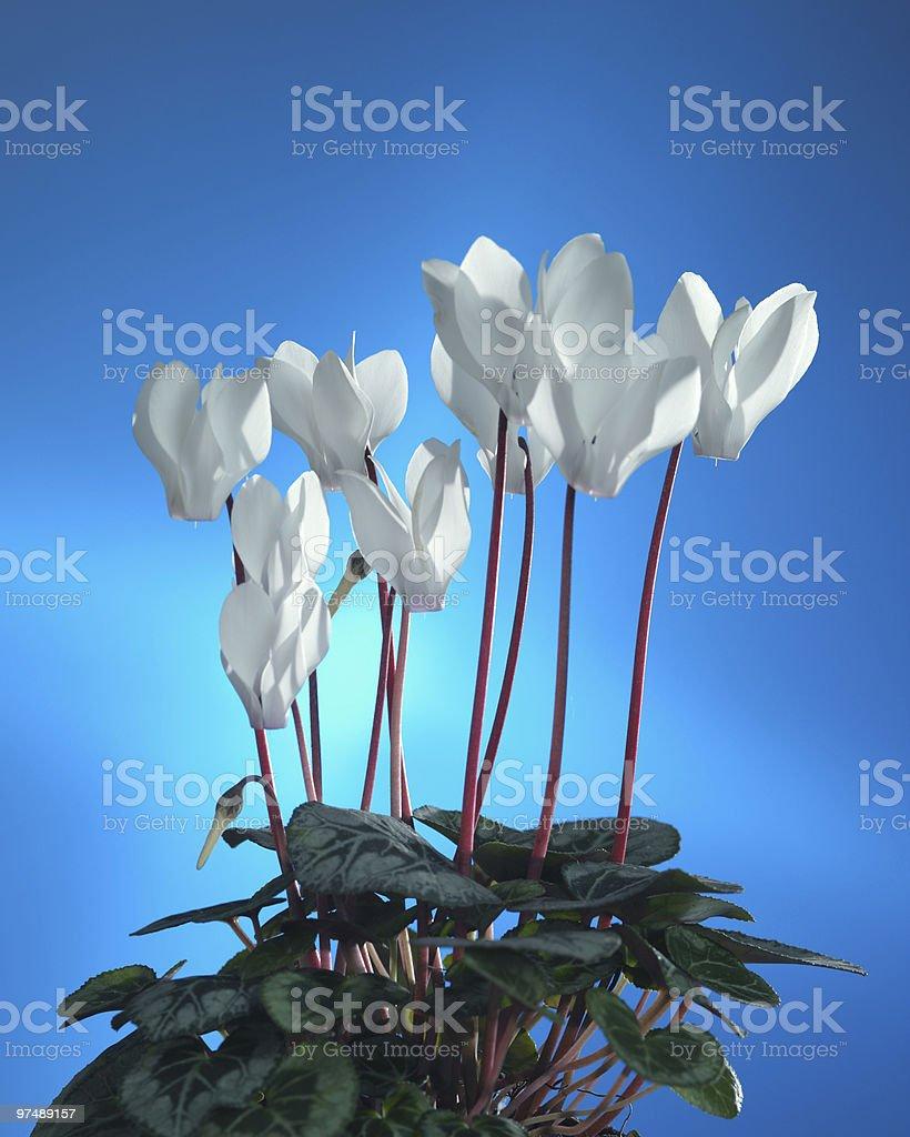 white cyclamen royalty-free stock photo