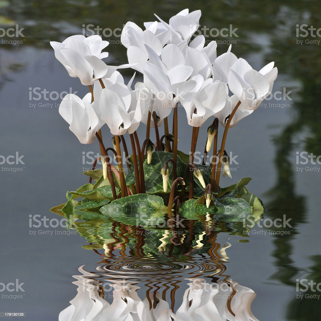 White cyclamens in the water royalty-free stock photo