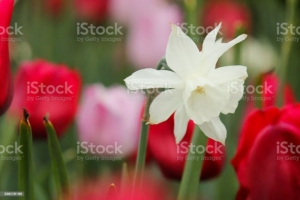 White daffodil among tulips foto royalty-free