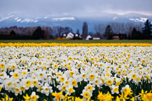 White daffodil fields and snowcapped mountains at the background