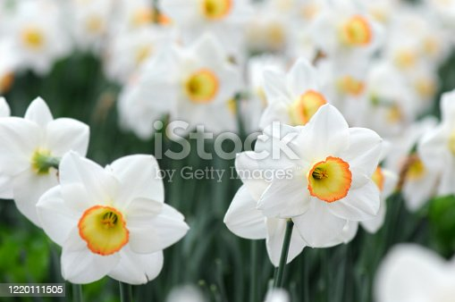 White Daffodil flowerbed blossom in spring.