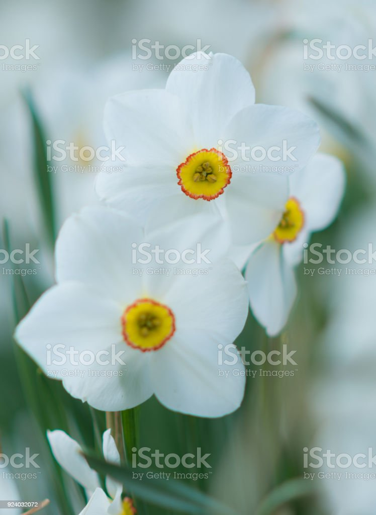 White daffodil flowers in spring selective focus stock photo more white daffodil flowers in spring selective focus royalty free stock photo mightylinksfo
