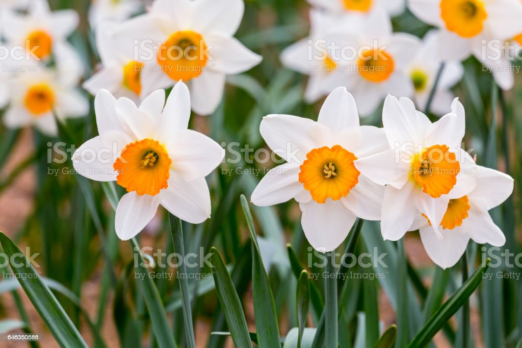white daffodils flowers with green leaves blooming in springtime stock photo