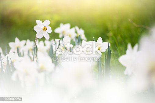 639245704 istock photo White daffodils in springtime 1199692969