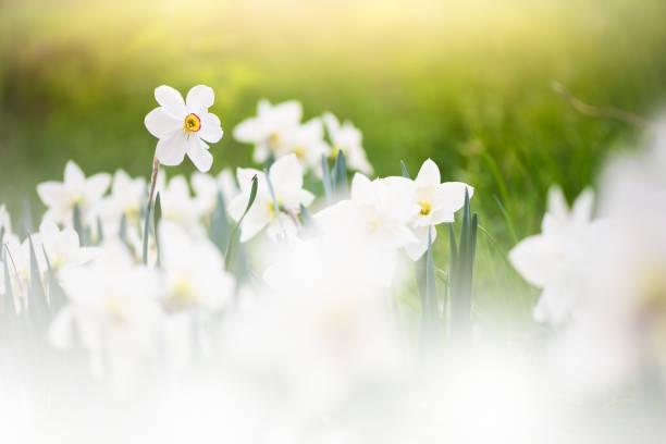 White daffodils in springtime picture id1199692969?b=1&k=6&m=1199692969&s=612x612&w=0&h=esczzffrkdtrcgquchpbpinacisaau0u6hphuogb  c=