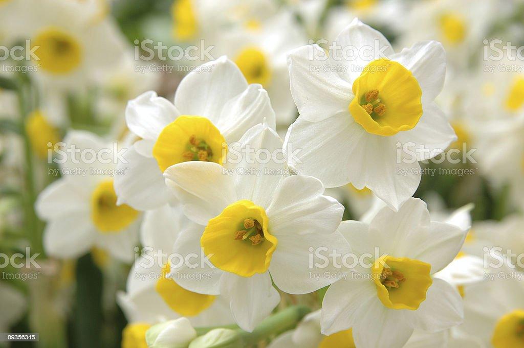 Biały daffodils zbiór zdjęć royalty-free