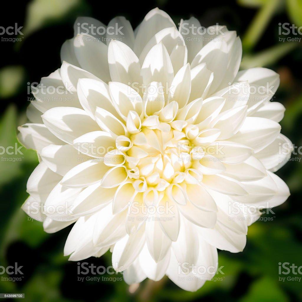 White Dahlia Blossom Flower Beautiful Closeup Full Frame