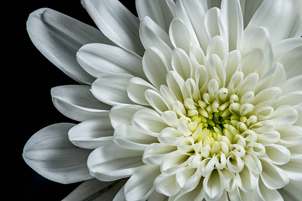 Royalty free white flower close up pictures images and stock photos white dahlia stock photo mightylinksfo