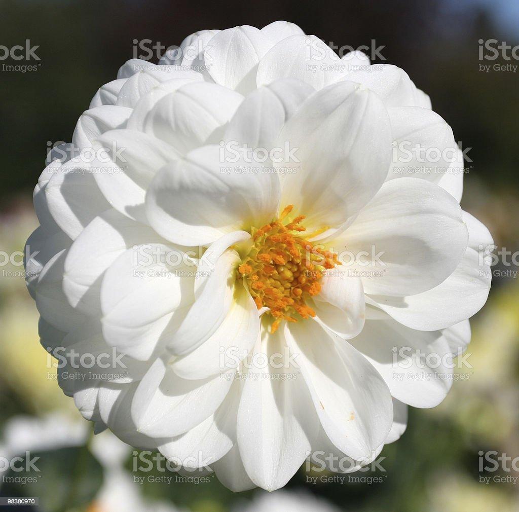 White Dahlia royalty-free stock photo